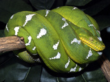 Emerald Tree Boa Photographic Print