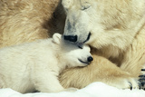 Polar Bear and Cub Photographic Print