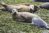 Harbor Seal Mother and Pup Photographic Print
