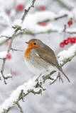 European Robin in Winter on Snowy Branch Papier Photo