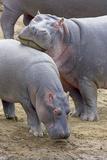 Common Hippopotamus Maasai Mara Reserve Photographic Print