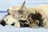 Kitten (6 Weeks Old) Lying with Mother Photographic Print