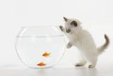 Kitten Watching Fish in Fish Bowl Fotografisk tryk