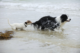 Jack Russell Terrier Pulling on Border Collies Tail Photographic Print