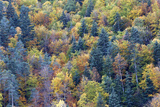 Mixed Forest in Autumn with Pine Poplar and Beech Photographic Print
