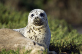Harbor Seal Pup Photographic Print