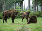 European Bison Photographic Print