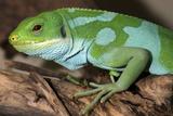 Fiji Banded Iguana Male Fotodruck