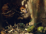 Water Chevrotain Eating Fruit Dropped Photographic Print