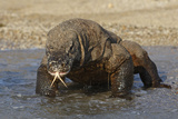 Komodo Dragon on Beach Entering Sea Photographic Print