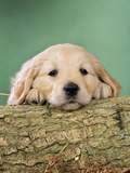 Golden Retriever Dog Puppy with Head on Log Fotografisk tryk