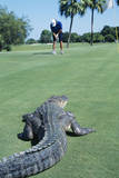American Alligator on Golf Course Photographic Print