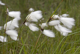 Flowers of Cotton Grass or Hare's-Tail Blowing in Wind Photographic Print