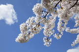 Japanese Cherry Trees in Full Spring Blossom Photographic Print