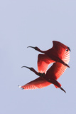 Scarlet Ibis Two in Flight Papier Photo