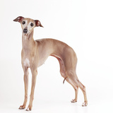 Italian Greyhound Photographic Print