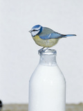 Blue Tit- Perched on Top of Milk Bottle Photographic Print