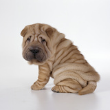 Shar Pei Puppy, Side-View Photographic Print