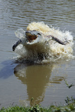 Orinoco Crocodile Female Lunging Out of Water Photographic Print