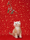 Ginger and White Kitten under Mistletoe Photographic Print
