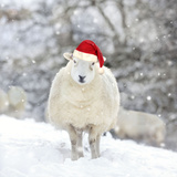 Sheep Texel Ewe in Snow Wearing Christmas Hat Photographic Print