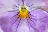Garden Pansy Detail of a Lilac and Yellow Coloured Photographic Print