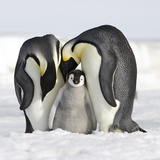Emperor Penguin Adults with Chick Photographic Print