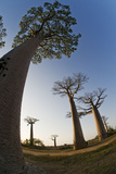 Grandidier Baobabs Avenue of Baobabs Trees Photographic Print