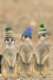 Meerkat Wearing Woolly Hats Photographic Print