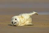 Grey Seal Pup Lying on Sand Bank Stretching it's Fin Photographic Print