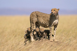 Cheetah with Four 6 Week-Old Cubs Photographic Print