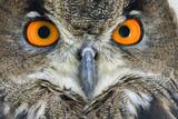 Eurasian Eagle Owl Adult Photographic Print