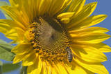 Sunflower a Honeybee (Apis Mellifera) Gathers Photographic Print