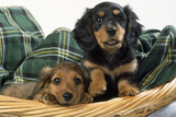 Miniature Long-Haired Dachshund Dog Puppies in Basket Photographie
