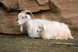 Angora Goat with Kid Photographic Print