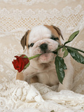 Bulldog Puppy with Rose in Mouth Photographic Print
