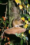 Long-Tailed Field Mouse Reprodukcja zdjęcia