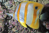 Banded Butterfly Fish Photographic Print