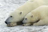 Polar Bears Adult and Young, Both Resting Head on Paw Photographic Print