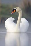 Mute Swan Adult Bird with Wings in Display Posture Impressão fotográfica
