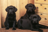 Labrador Retriever Dog Three Black Puppies Fotografisk tryk