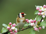 Goldfinch with Blossom Photographic Print