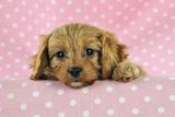 Cockerpoo Puppy Photographic Print