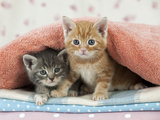Ginger and Grey Tabby Kittens Photographic Print
