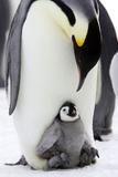Emperor Penguin, Adult with Young Reprodukcja zdjęcia