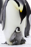 Emperor Penguin, Adult with Young Photographic Print