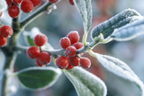 Rimed Berries of the Holly Frosted Photographic Print