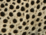 Cheetah, Close-Up of Fur / Coat, Showing Spot Pattern Photographic Print