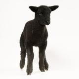 Black Lamb Reproduction photographique
