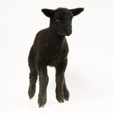 Black Lamb Photographic Print
